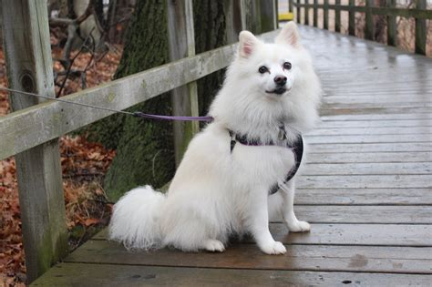 american eskimo shedding best hair grooming clippers for an american eskimo