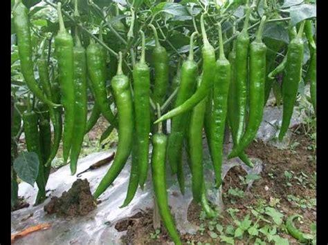 grow green chili  home kitchen gardening usa part