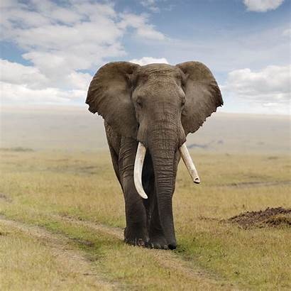 Elephant African Animal Elephants Wallpapers Africa Animals