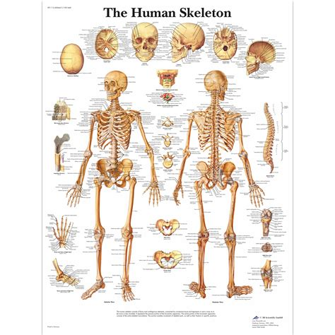 An extremely important zone in human development, the epiphyseal plate is responsible for gross anatomy of axial skeleton. Human Skeleton Poster   Human Skeleton Chart   Paper