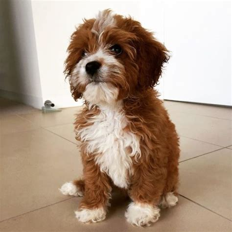 pin  cavoodle dog  cute  animals