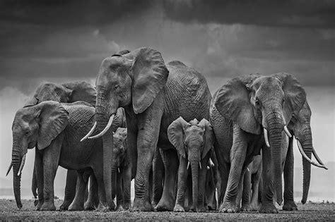 classical black  white elephant wall mural elephant