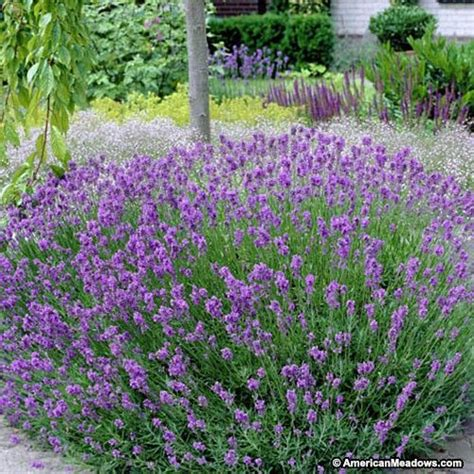 lavender bushes perennials 25 best ideas about lavender varieties on pinterest types of lavender plants lavender garden