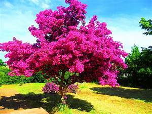 Les Plus Beaux Arbres Pour Le Jardin : bougainvilliers persistant au jardin forum de jardinage ~ Premium-room.com Idées de Décoration