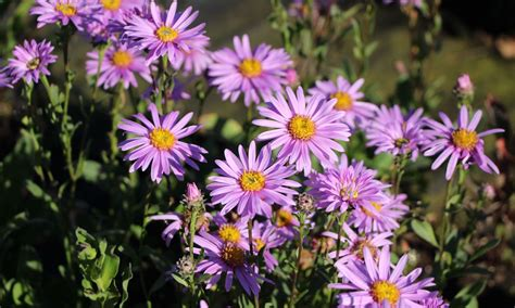 sommer aster rosa erfuellung aster amellus rosa