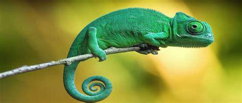 Sapņu tulks hameleons. Ko nozīmē sapnī redzēt hameleons.