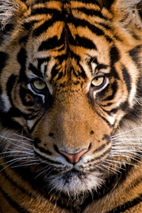 siberian tiger facts amur tigers endangered animals