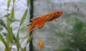 Lebendfutter Für Fische : 10 fische f r kleine aquarien ab 60 litern mit video ~ Watch28wear.com Haus und Dekorationen