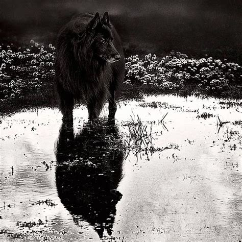 wolf shadow photography fine art animal photography