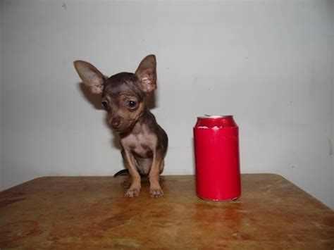 chocolate teacup chihuahua puppy youtube