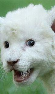 1000+ images about White lion on Pinterest   White lions ...