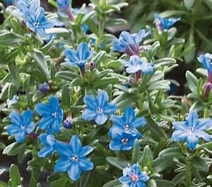 Bodendecker Blaue Blüten : steinsame blau bl te mai juli bodendecker sonniger standort blumen im garten garten ~ Frokenaadalensverden.com Haus und Dekorationen