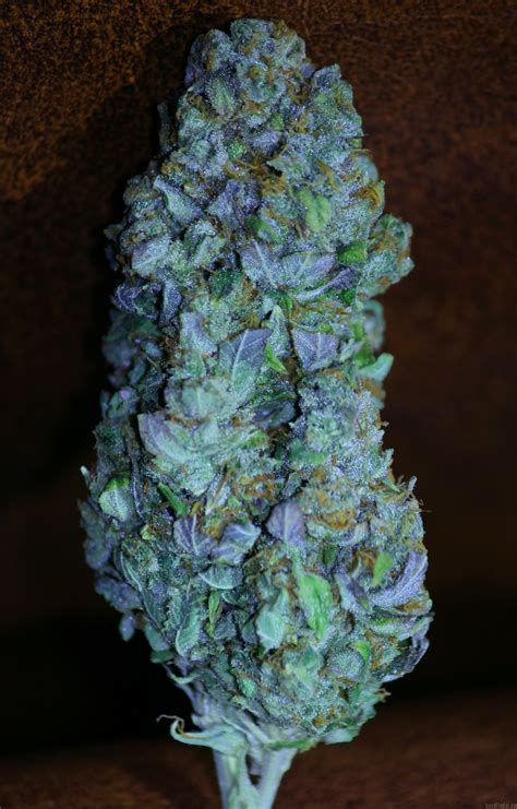 outdoor plants kandy kush by reserva privada seedfinder strain info