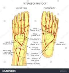 Plantar Foot Anatomy Diagram