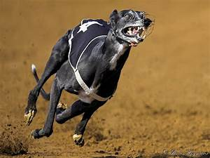 Http://PhotoPixSA.co.za - High speed Greyhound dog race ...