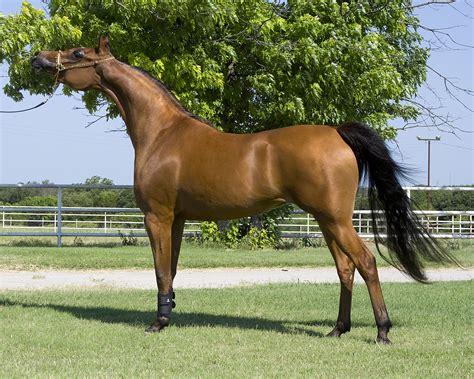 horse breeds most arabian popular