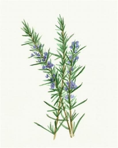 Rosemary Herb Watercolor Printable Printables Oregano Herbs