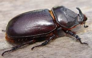 Curbing the coconut rhinoceros beetle in the Pacific ...