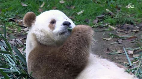Rare Brown And White Panda Wows Crowds  Nbc News