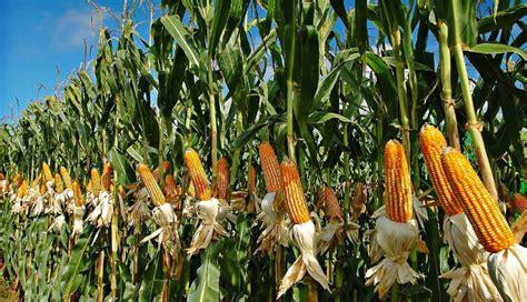 Corn/Maize Farming - Cultivation Process, Nutrition Value ...