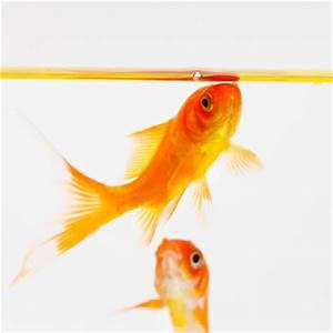 Goldfisch Haltung Im Teich : der gew hnliche goldfisch haltung im teich und im ~ A.2002-acura-tl-radio.info Haus und Dekorationen