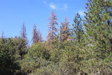 save  pine  oak trees sierra news
