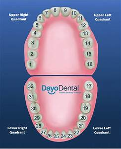 Teeth Numbers And Names