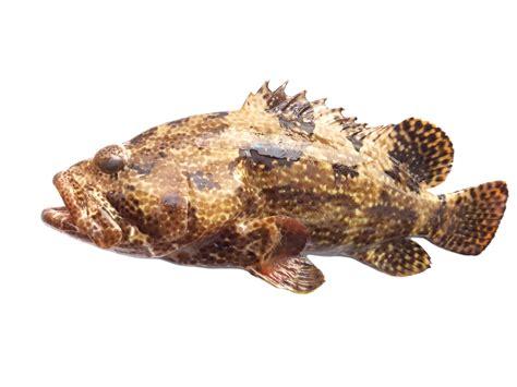 grouper yellowedge pbi imported lba lb ref raw whole wild skin head usa