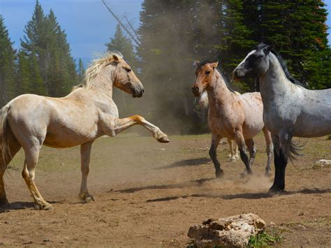 horses wild animal animals endangered wildlife friends north lawsuit invasive pulse agri pryor america species act herd launched organization known