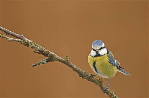 formation cuisine toulouse mésange bleue 14 photos d 39 oiseaux de par david meïer