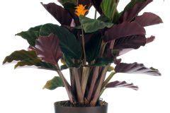 Calathea Blätter Hängen by Calathea Als Zimmerpflanze Halten 187 So Pflegen Sie Sie Richtig