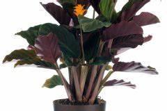 Calathea Blätter Rollen Sich Ein : calathea bl te diese arten der korbmarante bl hen wundersch n ~ Orissabook.com Haus und Dekorationen