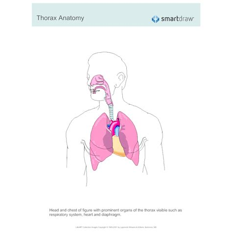 thorax anatomy