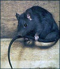 Comment Se Debarrasser Des Rats : comment se d barrasser des rats ~ Melissatoandfro.com Idées de Décoration