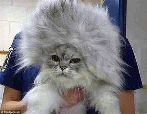 Owners Share Photos Of Their Cats U0026 39  Elaborate Hair Styles