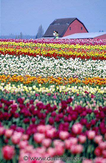 tulips festival in usa tulip festival washington places i d like to see pinterest