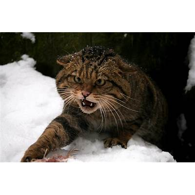 One of last strongholds Scottish wildcat unearthed in