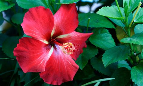 foto di fiori belli come coltivare l ibisco per avere fiori bellissimi e