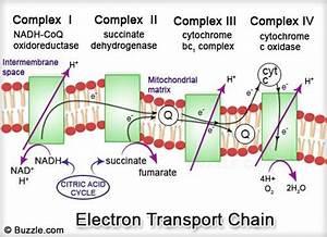 Electron Transport Chain  Etc   U2013 Pritishenoyindia