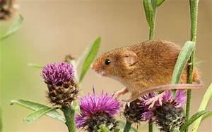 Mouse, Baby, Burdock, Wallpapers, Hd, Desktop, And, Mobile