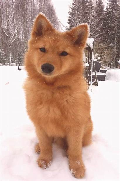 Dog Spitz Breeds Breed Finnish Shepherd Puppies