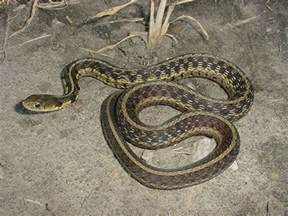 Southern Indiana Snakes Garter