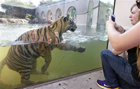 Petition urging LSU to stop holding live Tigers gains 65K ...