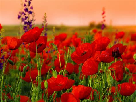 red flowers flowers   full hd wallpapers