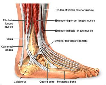 Diagram Of Heel Structure by Foot Anatomy Podiatrist In Ny