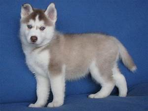 The gallery for --> Cute Husky Puppies With Blue Eyes ...