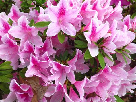 shrub with pink flowers spring blooms in my home town nbaynadamas furniture and interior