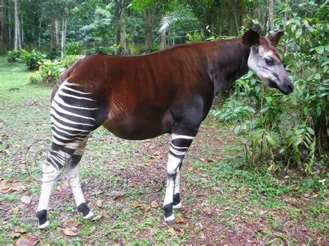 Okapi  Rare Specie [enviromation]