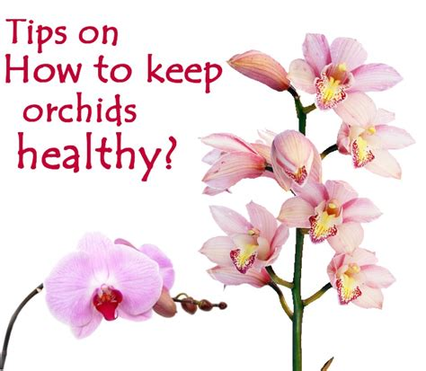 orchids orchid healthy keep tips plants growing care exotic hubpages caring flowers seven indoor detailed grow flowering phalaenopsis beginners blooms