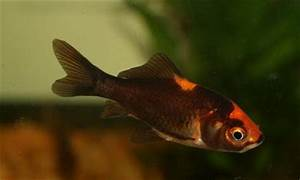 Black And Orange Goldfish